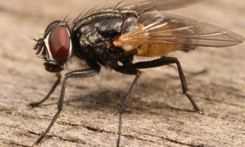 Vita da mosca…a casa tua. Quali pericoli?