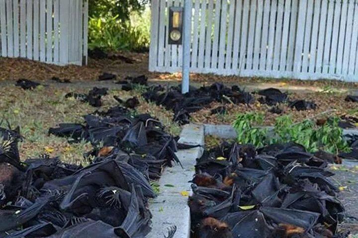 Pipistrelli-morti-in-Australia