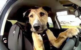Trasporto di cani in auto: multe da 5000 a 30000 euro!